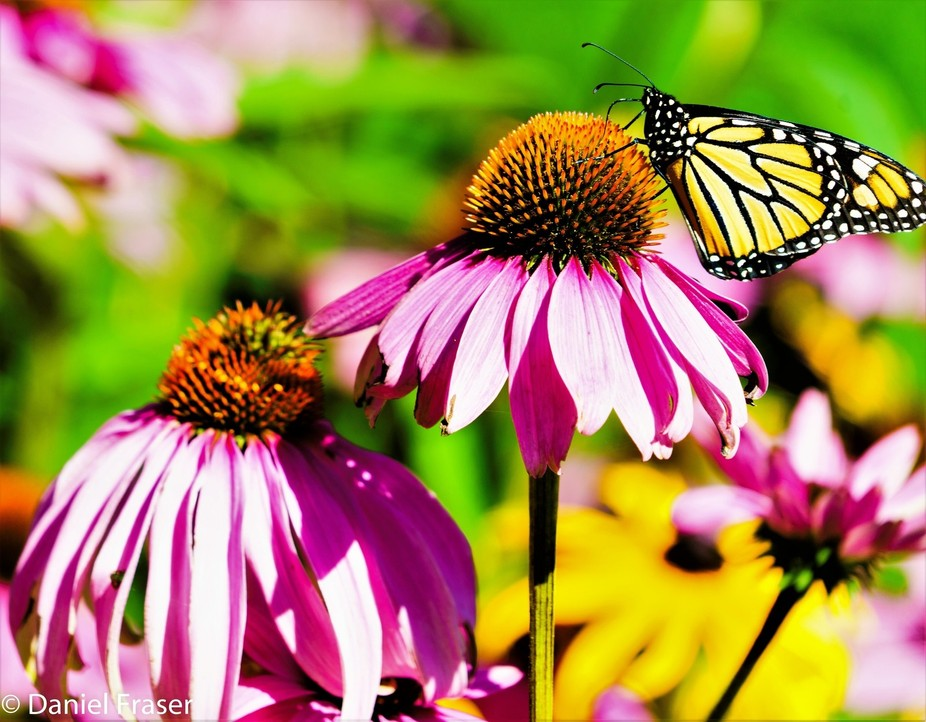 Out of the cocoon the butterfly seeks out food from the nectar of the flower.  One of the most po...