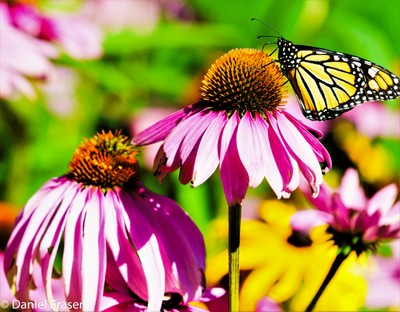 Monarch Resting On Coneflower in Front August Garden