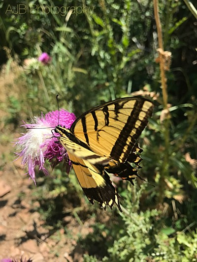 Butterfly Season at Apex