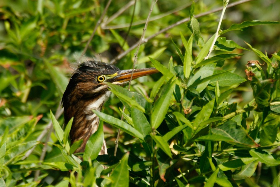 I was out shooting dragonflies and iI was distracted by 2 fledgling Green Herons.  I usually phot...