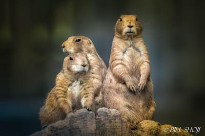 Prairie Dogs at Van Saun Park