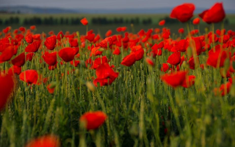 through poppies