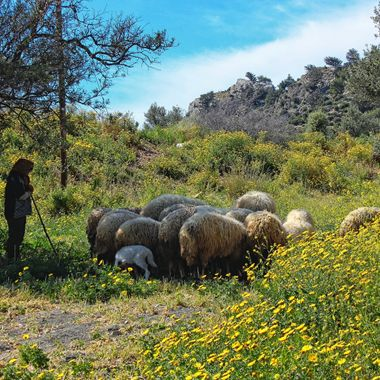I took this photo when I went with my students on a photography excursion to Çınarlı Village, in Cyprus, in the year 2012.  There was this woman shepherd with her flock of sheep that made an intersting composition for us. This was one of the photos that I took that day.