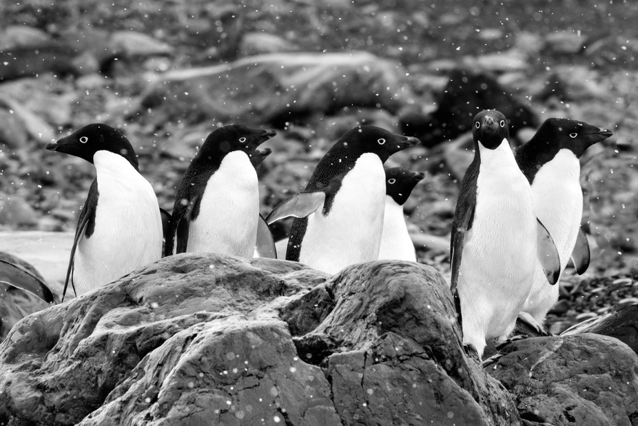 A group of Adelie penguin's in Antartica.