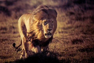 In honor of World Lion Day