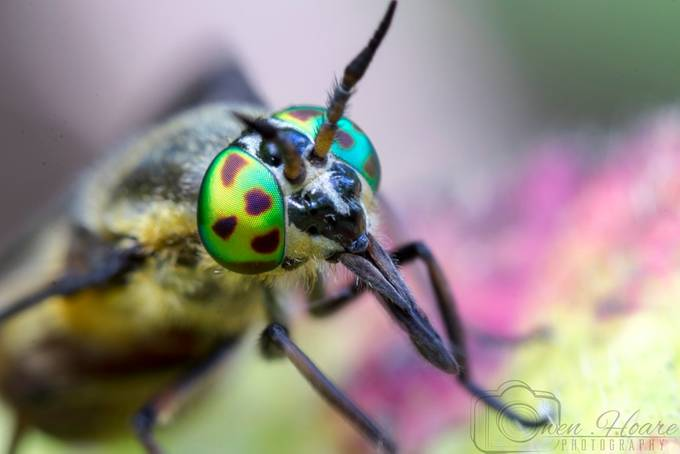 Chrysops relictus (Twin lobed deerfly) female by owenhoare - Macro And Patterns Photo Contest
