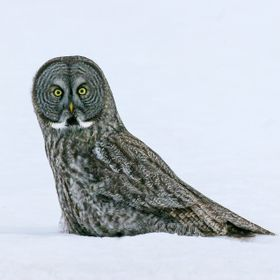 Grey Owl in Snow