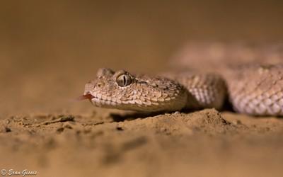 Arabian-horned Viper