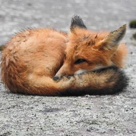 This fox pup was warming itself on the rocks curled up in a ball.