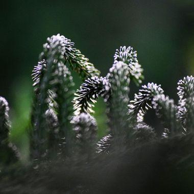 Norweigan Pine