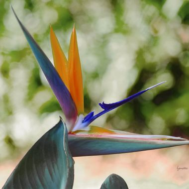 Bird of Paradise from my Garden