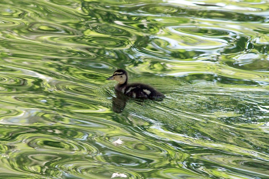 why ducklings are patterned the way they are.