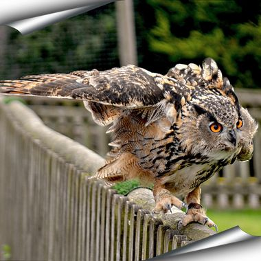 Owl running along a fence.