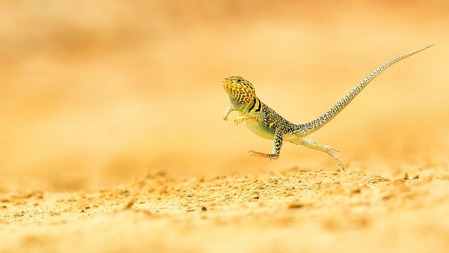 Common collared lizard (Crotaphytus collaris) - it's a very moving lizard. When he needs...