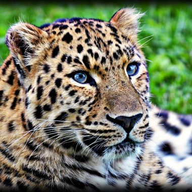 A beautiful feline species at the Yorkshire wild life park,