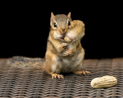 Chipmunk with a Peanut in a Pouch-075