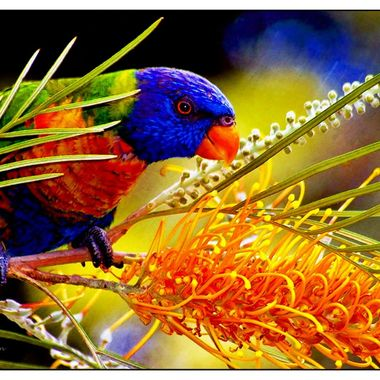 Rainbow Lorikeet and Gravillea flower