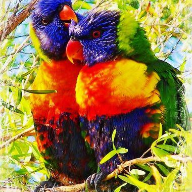 Loveable Lorikeets, Australia