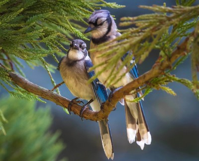 Mom and Baby Bluejay
