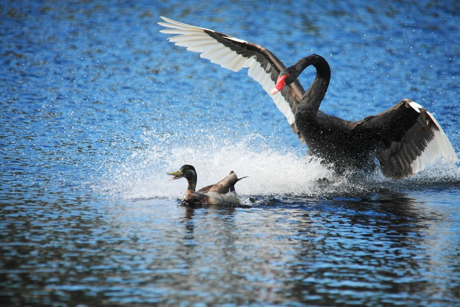 An irritated black swan seeing off a trespassing mallard. Mangere Water Care Plant