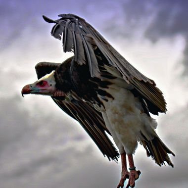 a Vulture coming in to land.