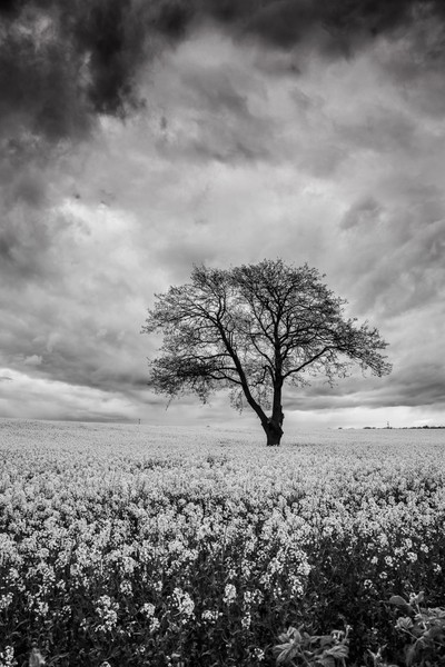 Gainford Monochrome Rapeseed Field (Portrait).
