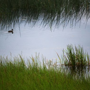 A duck swimming on a calm marshy inlet at first light.