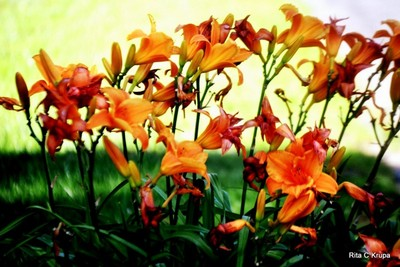 BUNCH OF ORANGE DAY LILIES