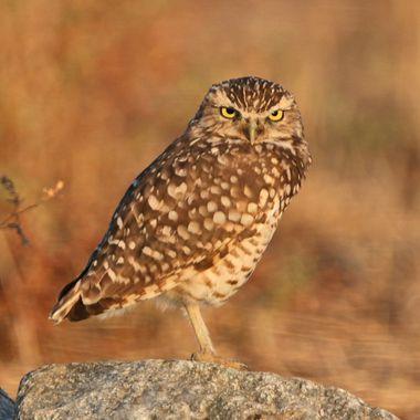 Burrowing Owl IMG_9212