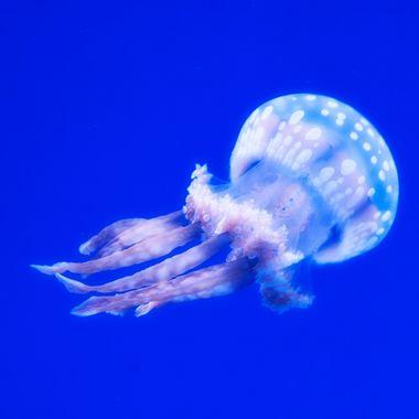 Baby Jelly II