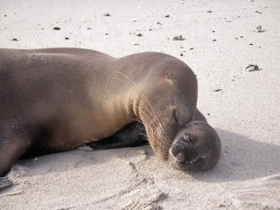 new born sea lion pup, Galapagos