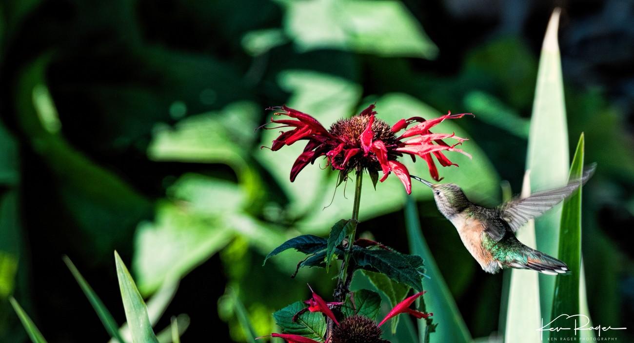 More Humming Bird-2