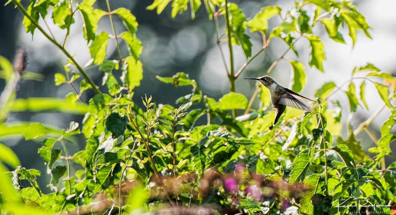 Humming Birds-2