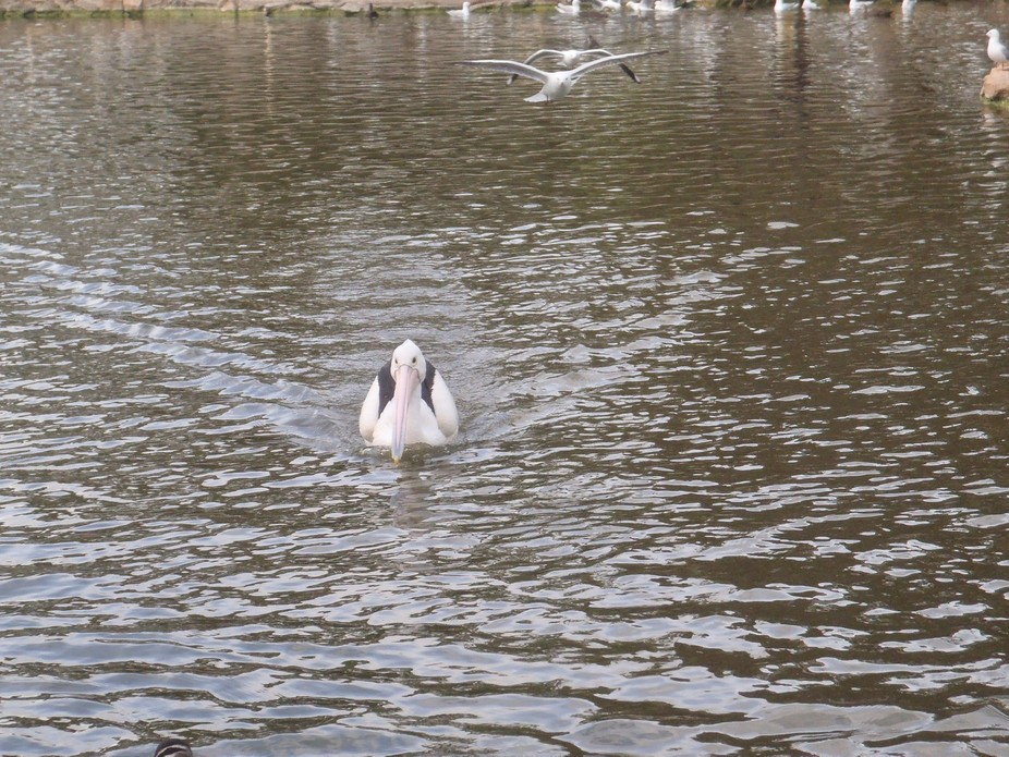This pelican was swimming across the water, I loved the wake he created.