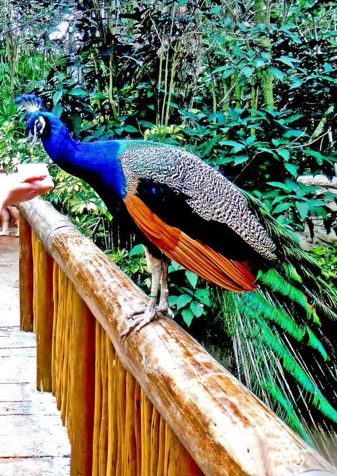 Feeding a Peacock at Sea world FL.
