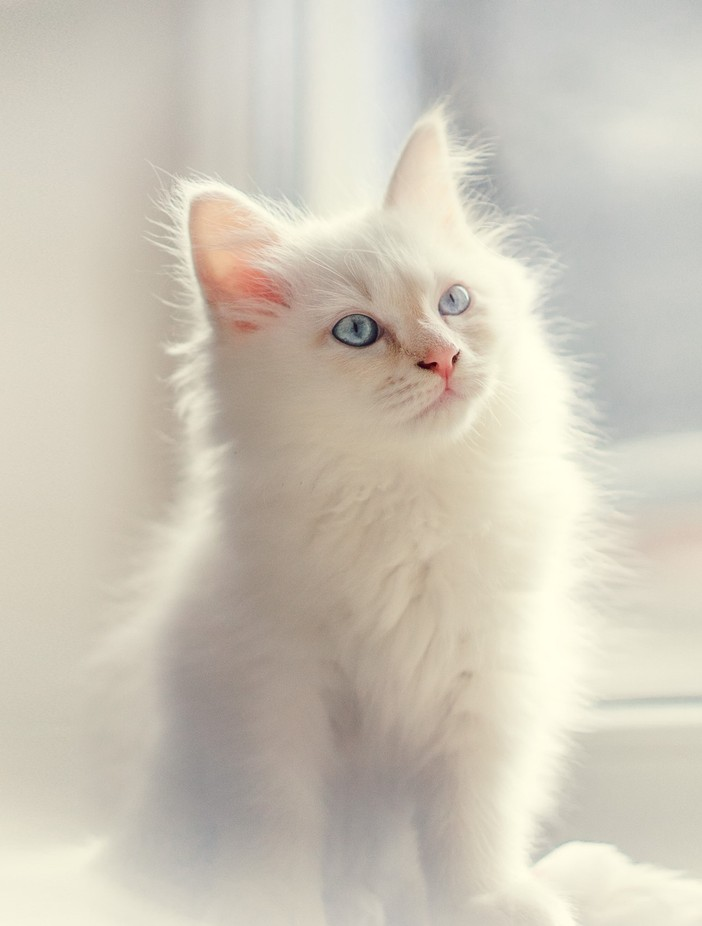 Anton (2) by Dererikwinter - Cute Kittens Photo Contest