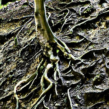 Beared Tree Roots at Olderdissen Animal Park in Germany.