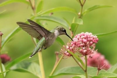 Hummingbird on Milkweed