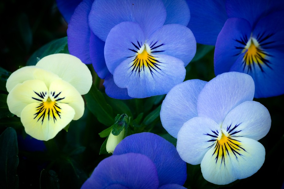Graphical composition of the beautiful yellow and blue flowers of the Viola Comuta