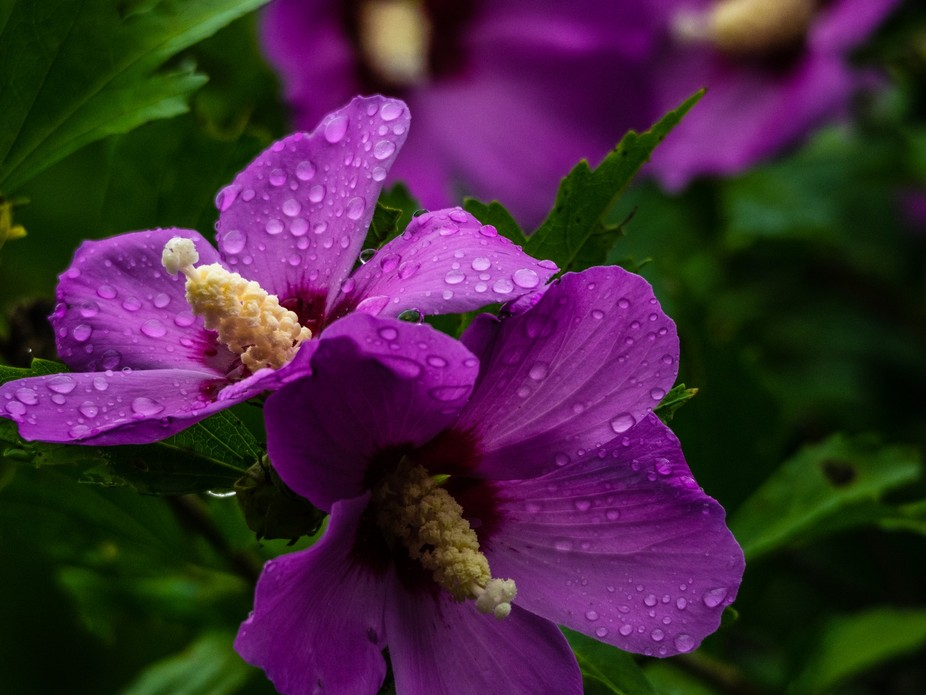 Rose of Sharon in the rain