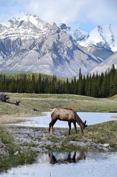 Grazing Elk, Canadian Rockies