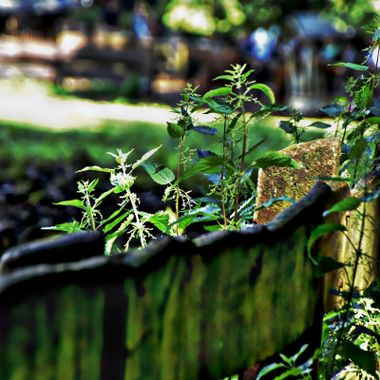 An old fence with nettles growing through it.