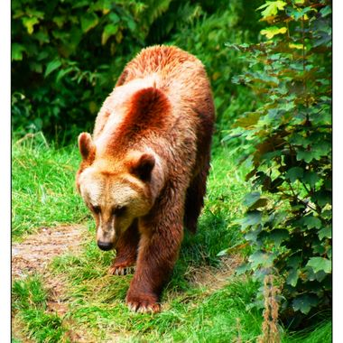 A brown Bear strolling in it's enclosure at Olderdissen animal park.