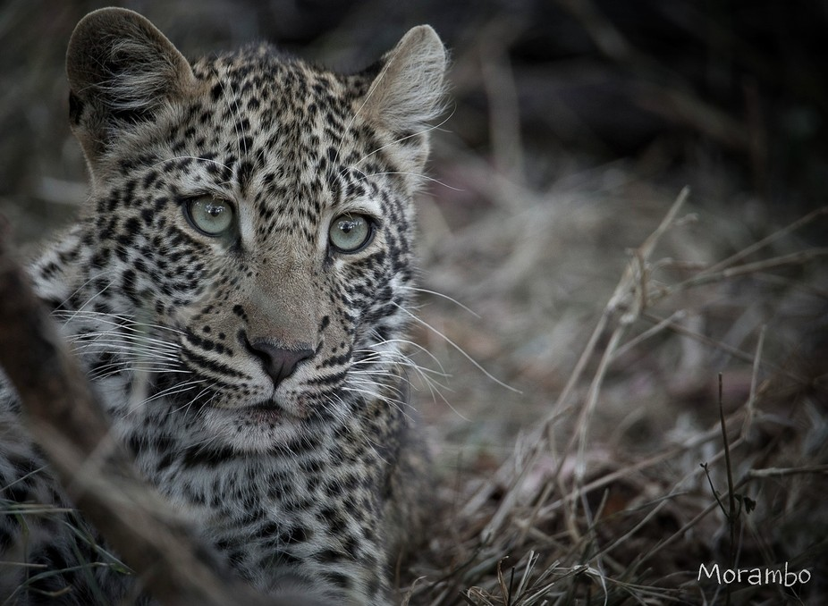 This is Twin-spot females little cub, this photo was taken whilst mother was on a kill and this l...