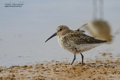 Dunlin (Calidris alpina), a medium sized sandpiper and shorebird searching for food along the arctic shore