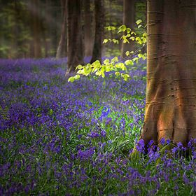 Bluebellforest