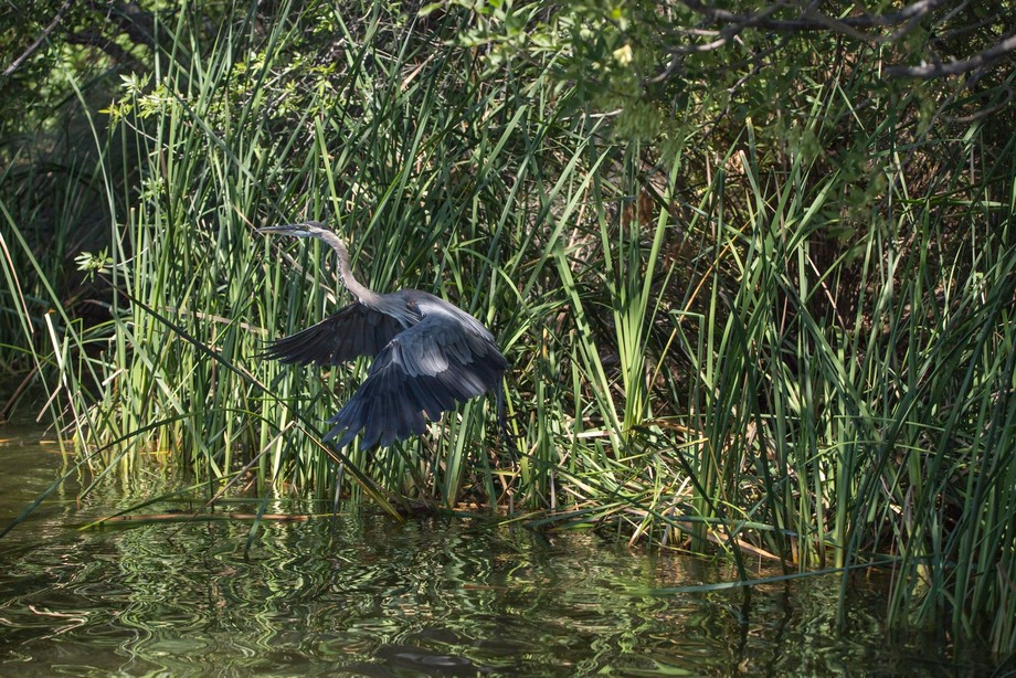 Following a crane at a lake in Arizona - its life, its habitat, its enormous wingspread.