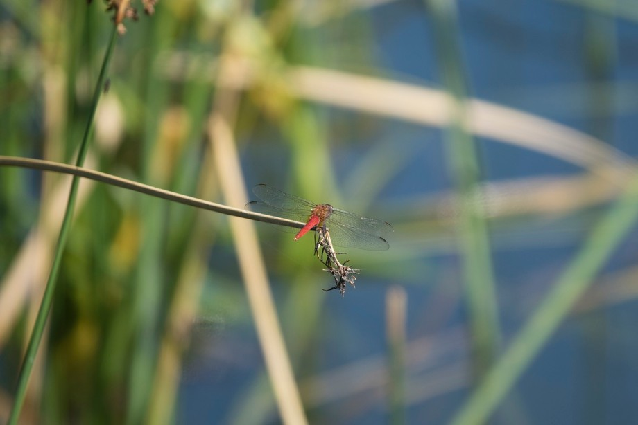 Playing with macro fun to capture me a couple of dragonflies.