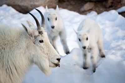 Mountain Goat Mom