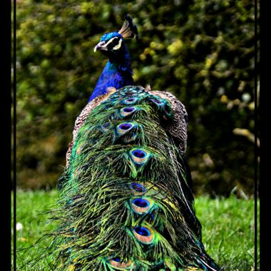 Peacock with plumage down.